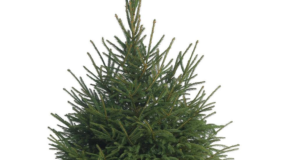 Norway Spruce Premium Grade Tree