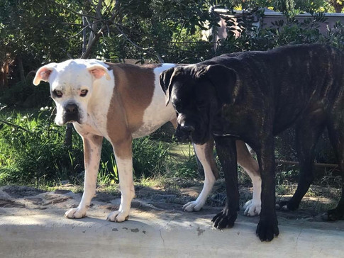 Big dogs day at home boarding