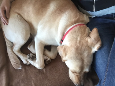 Sleeping dog in dog daycare in Bletchley