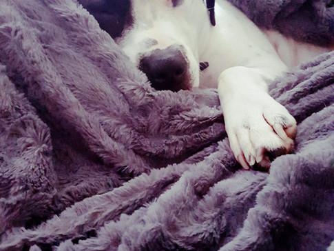 Sleeping dog at home dog boarding