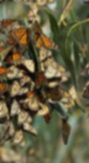 monarch-butterfly-population Ryan Hagert