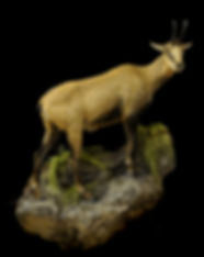 Weick's Taxidermy Unlimited Chamois Rock Mount