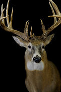 Weick's Taxidermy Unlimited Whitetail Deer Mount