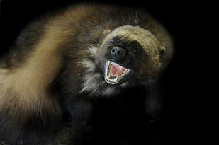 Weick's Taxidermy Unlimited Wolverine Mount