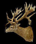 Weick's Taxidermy Unlimited Stag Mount