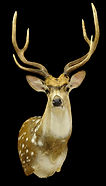 Weick's Taxidermy Unlimited Axis Deer Mount