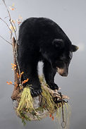 Weick's Taxidermy Unlimited Black Bear Mount
