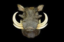 Weick's Taxidermy Unlimited Warthog