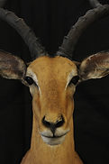 Weick's Taxidermy Unlimited Fallow Deer Mount