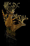 Weick's Taxidermy Unlimited Whitetail Velvet Deer Mount