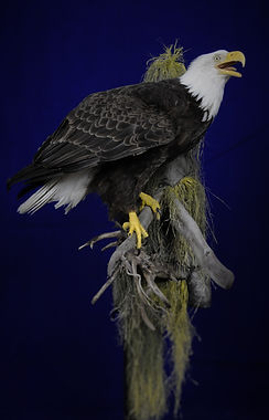 Weick's Taxidermy Unlimited Bald Eagle Mount