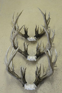 Weick's Taxidermy Unlimited Whitetail Horn Replica