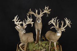 Weick's Taxidermy Unlimited Whitetail Deer Trio Life Size