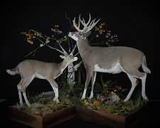 Weick's Taxidermy Unlimited Albino Whitetail Deer Life Size
