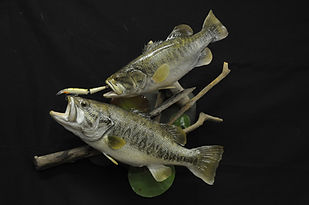Weick's Taxidermy Unlimited Largemouth Bass Duo Skin Mount