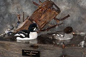 Weick's Taxidermy Unlimited Goldeneye Duck Mount