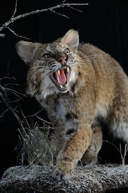 Weick's Taxidermy Unlimited Bobcat Life Size