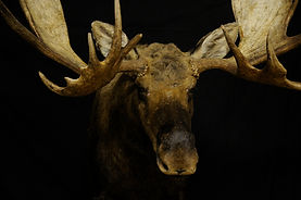 Weick's Taxidermy Unlimited Moose Mount