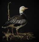 Weick's Taxidermy Unlimited Snow Goose Mount