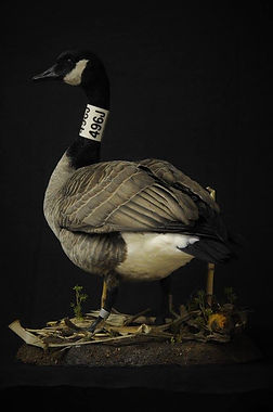 Weick's Taxidermy Unlimited Canadian Goose Mount