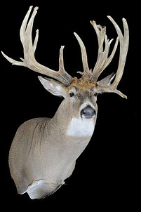 Weick's Taxidermy Unlimited Whitetail Replica Mount