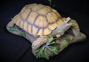 Weick's Taxidermy Unlimited Turtle Mount