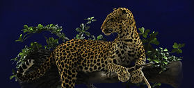 Weick's Taxidermy Unlimited Lepard Life Size