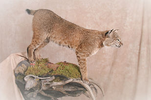 Weick's Taxidermy Unlimited Bobcat Pedestal Mount