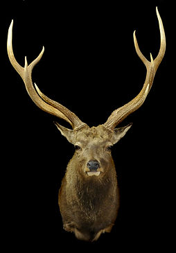 Weick's Taxidermy Unlimited New Zealand Sika Mount