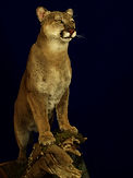 Weick's Taxidermy Unlimited Mountain Lion Life Size