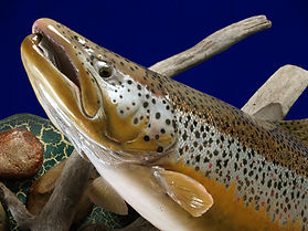 Weick's Taxidermy Unlimited Brown Trout Skin Mount