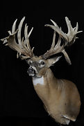 Weick's Taxidermy Unlimited Whitetail Deer Antler Replica Shoulder Mount