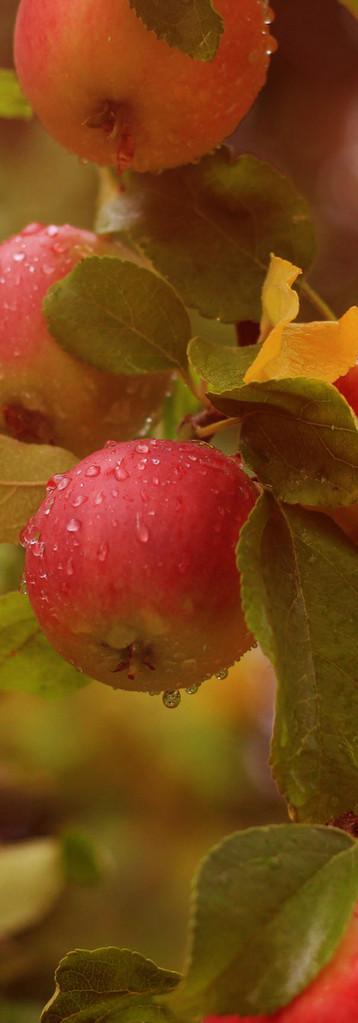 Epler i regnet