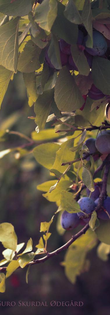 Plommer i hagen