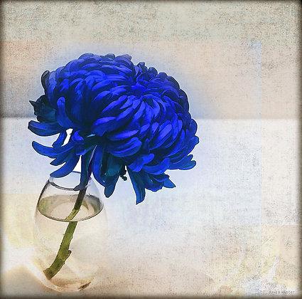 Blue Crysanthemum, 2021