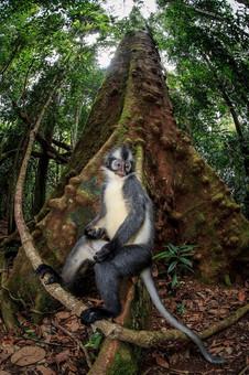 2017-Thomas's-leaf-monkey-1,-Gunung-Leus