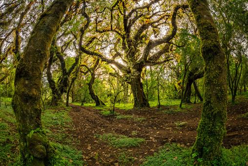 Harenna-Forest-4,-Bale-Mountains-Nationa
