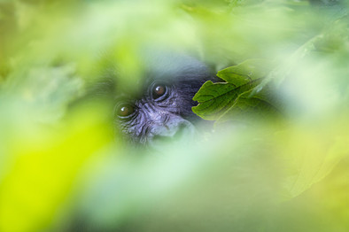Mountain-gorilla-behind-screen-of-leaves