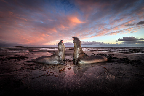 Elephant-seals-fighting-at-twilight-5,-S