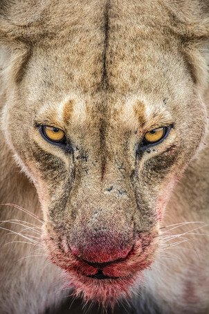 Female-lion-at-kill-3,-Masai-Mara-National-Reserve,-Kenya.jpg
