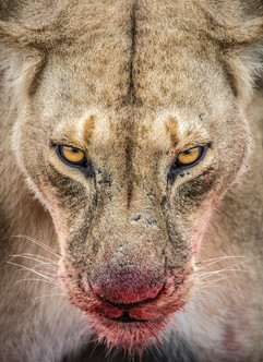 Female-lion-at-kill-3,-Masai-Mara-Nation