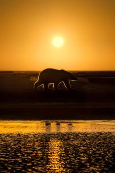 Sunrise-behind-polar-bear,-Arctic-Nation