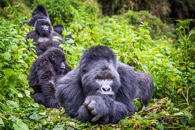 Silverback-mountain-gorilla-32,-Mgahinga