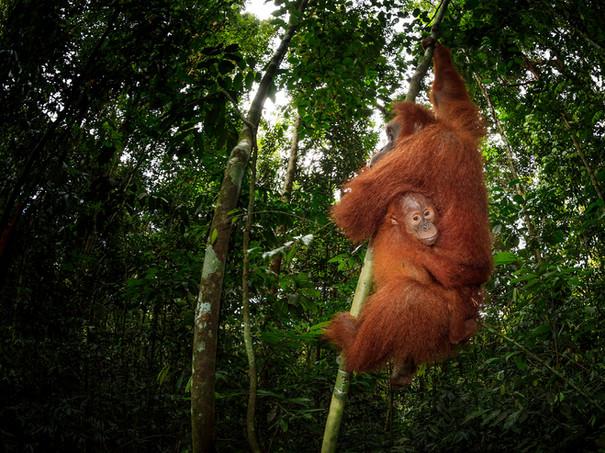 2017-Female-orangutan-and-baby-7,-Gunung-Leuser-National-Park,-Sumatra,-Indonesia.jpg
