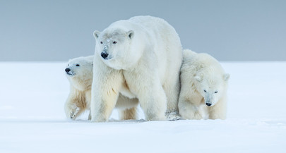 Photographing polar bears