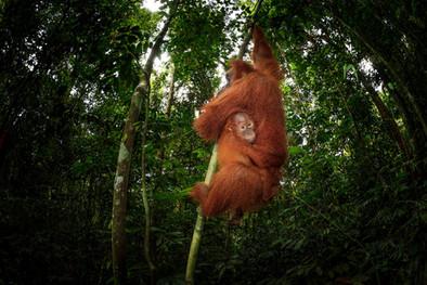 2017-Female-orangutan-and-baby-7,-Gunung