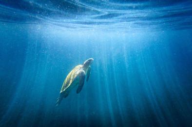 Green-sea-turtle-11,-Isabela-Island,-Gal