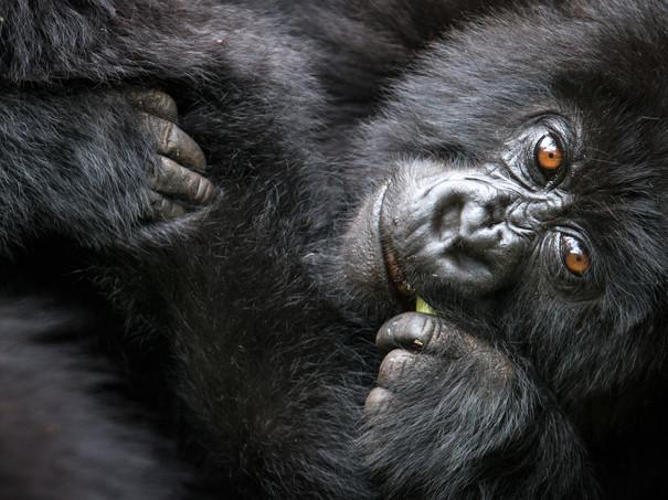 Baby-gorilla,-Volcanoes-National-Park,-Rwanda.jpg