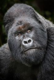 Silverback-mountain-gorilla-2,-Virunga-N