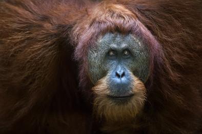 Male-orangutan-2,-Gunung-Leuser-National